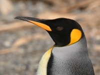 close-up-of-a-king-penguin