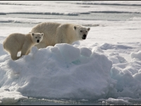 2 Polar Bear mother and cub