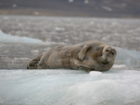 bearded-seal-2