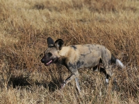 14 Wild Dog Namibia