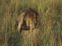 Lions-mateing03