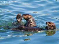 Pair Sea Otters