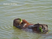 Sea Otter and weed