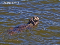 Sea Otter feeding