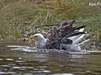 Bold Eagle Bathing