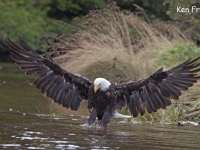 Bold Eagle Fishing