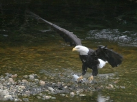bold-eagle-with-salmon