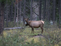 female-elk