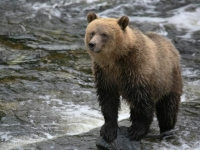 grizzly-bear-1