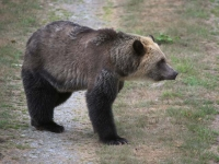 grizzly-bear-crossing