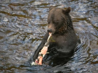 grizzly-bear-eating-salmon