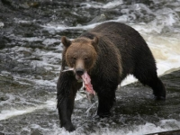 grizzly-fishing