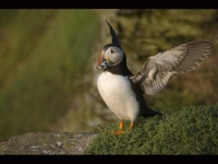 3 Puffin with Sand Eels