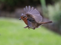 Robin with insect