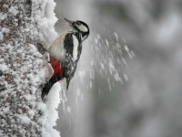 greater-spotted-woodpecker-2