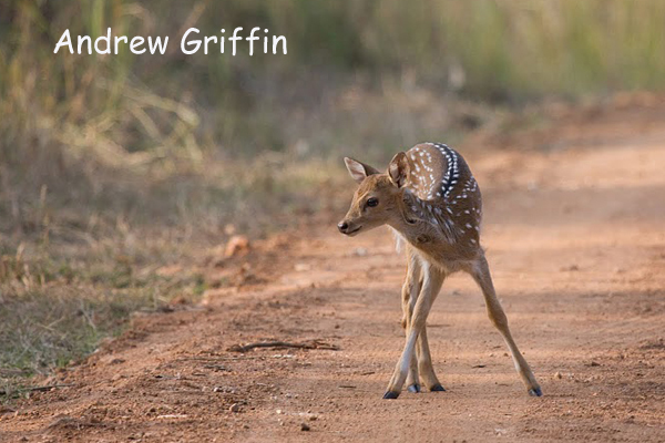 Young Spotted Deer copy