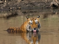 Tiger in water copy