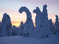 snow-covered-trees-one