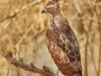 Crested Hawk 1 copy