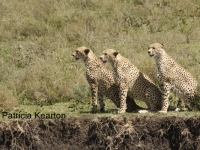 Cheetah Family copy