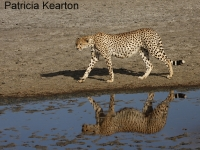 Cheetah Reflection copy