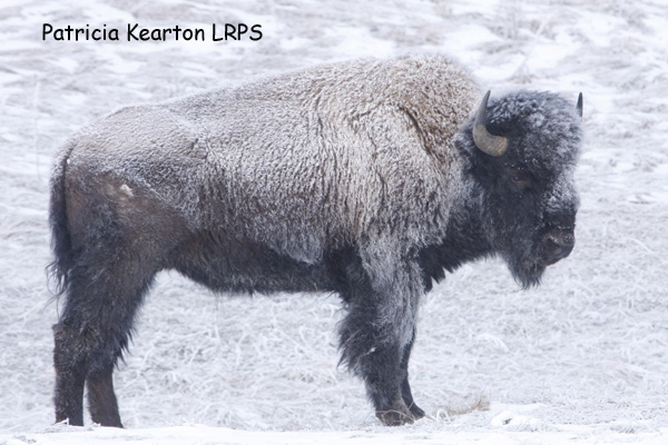 Frost covered Bison