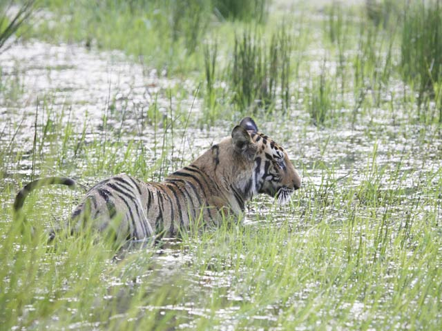 _MG_8228-Tiger-in-water