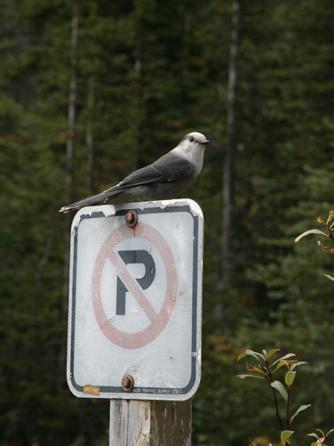 gray-jay-on-sign