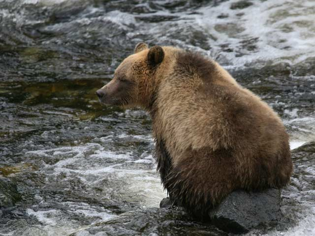 grizzly-bear-sitting