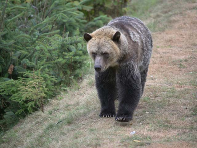 grizzly-bear-walking