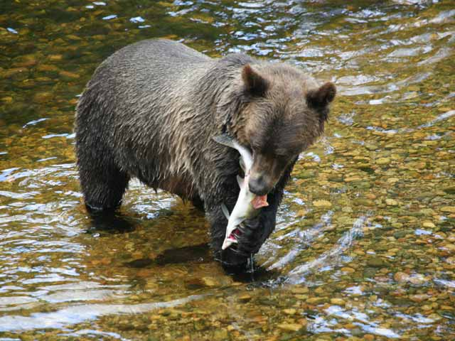 grizzly-bear-with-salmon-2