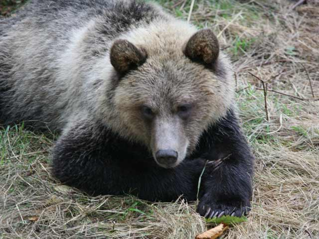 grizzly-cub