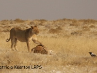 Lioness with kill copy