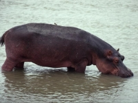 Hippo-in-water02
