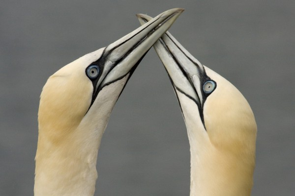 Gannets Pair Bonding